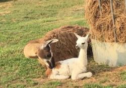 Kis lámával várunk benneteket a 4 napos hosszú hétvégén a Katica tanyán!