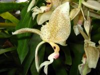 Orchideák a PTE Botanikus Kertjéből